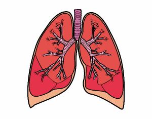 pulmones-y-bronquios-el-cuerpo-humano-10342154